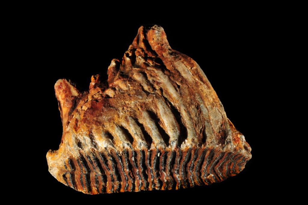 Woolly Mammoth Teeth - Prehistoric Online